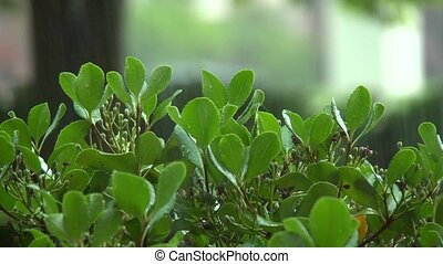 rain on bush leaves - Shrub leaves reach upward to receive a...