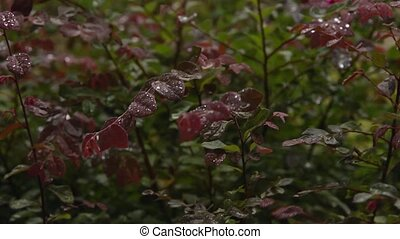 Slow motion rain on bush - Rain is hitting this pretty red...