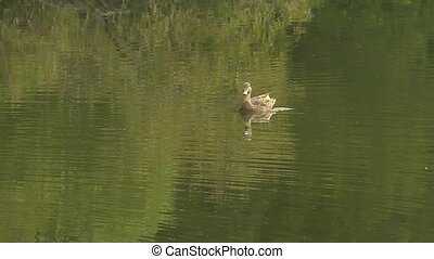 duck swimming - A female duck swimming aimlessly in a pretty...