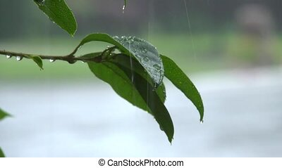 rainy leaves - Leafy branch from a shrub gets soaked by a...