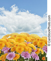 Mums Flowers Against A Blue Sky