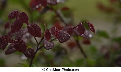 red leaves in rain - The red leaves from a shrub are rain...