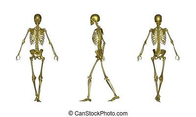 skeleton - anatomy,white...