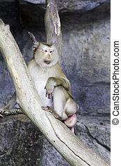 Pig-tailed Macaque (Macaca nemestrina)