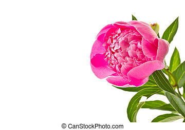pink peony - Bright pink flower blooming peony on white...