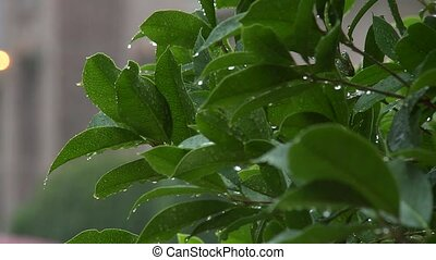 rain on a bush - Medium closeup of a suburban shrub in the...