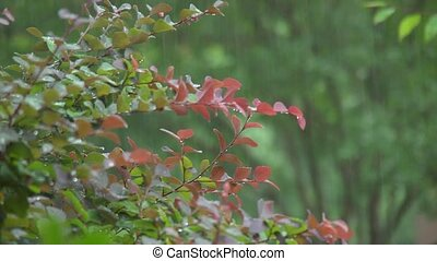 rain on shrub - It's raining on a red-tipped shrub.