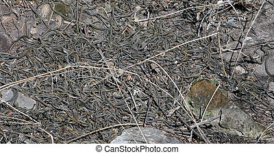Red Sided Garter Snake Den - Red Sided Garter Snakes...
