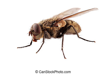 House fly - A hairy house fly on white
