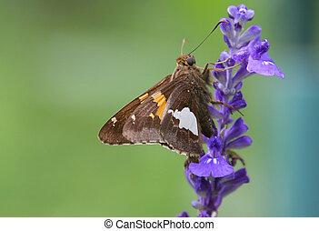 Skipper Butterfly on a purple flower