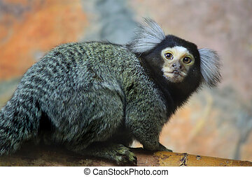Marmoset - Photo of mamoset (Callithrix jacchus)