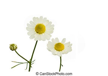 camomile - Camomile Matricaria recutita on the white...