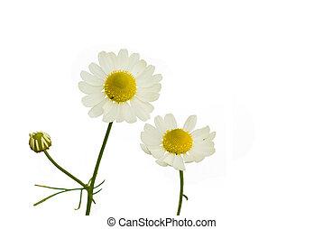 camomile - Camomile (Matricaria recutita) on the white...