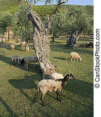 Agriculture - Olive tree planting and sheep at Thassos...