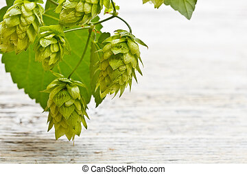 Cones of hop - Green twig with mature cones of hop