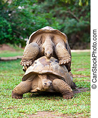 two Big Seychelles turtles sympathizing each other Mauritius...