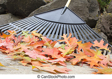 Raking Fallen Oak Leaves Closeup - Raking Fallen Oak Tree...