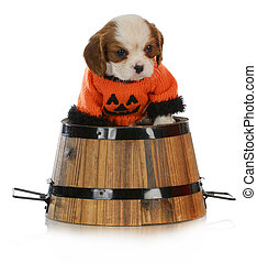 halloween puppy - cavalier king charles puppy wearing a...