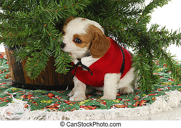 christmas puppy - cavalier king charles spaniel puppy under...