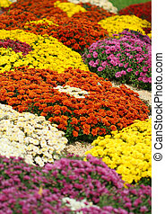 chrysanthemums - Close-up of bright colorful chrysanthemums...