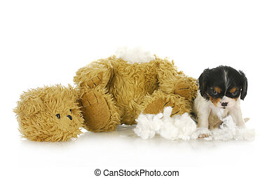 naughty puppy - cavalier king charles puppy chewing apart a...