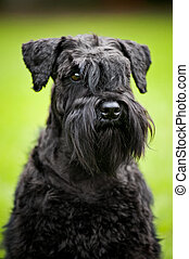 young Miniature Schnauzer portrait - cute young Miniature...
