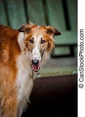 dog Russian Borzoi portrait
