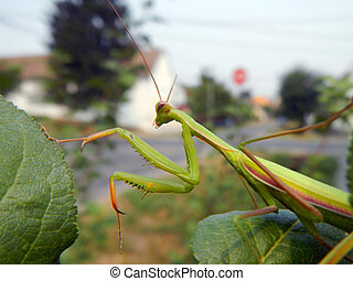 European mantis (Mantis religiosa) on plants