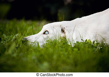 white dog put his head on the grass in summer