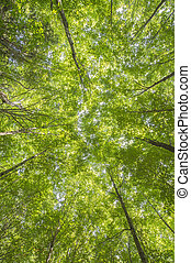 canopy trees with sunbeams - Image of tall canopy trees with...