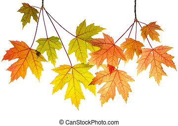 Hanging Maple Tree Branches with Leaves