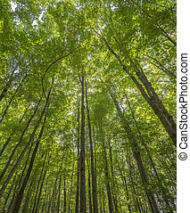 forest canopy - Image of forest canopy in haliburton