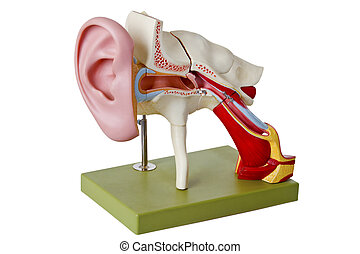 Auditory canal - Model from auditory canal - isolated on...
