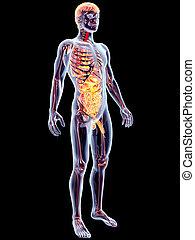 內部, 器官