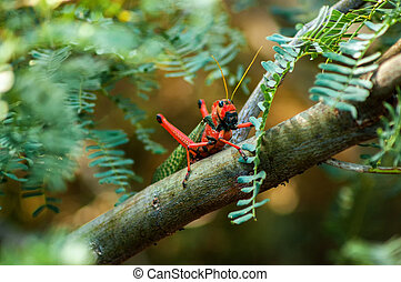 Red and Green Grasshopper - A large red and green...