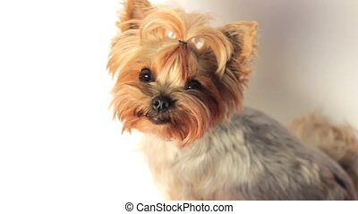 Yorkshire Terrier on White - High angle view of a cute young...