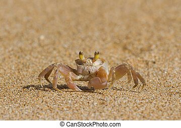 Crab on Sand - Crab on a beach at Kauai
