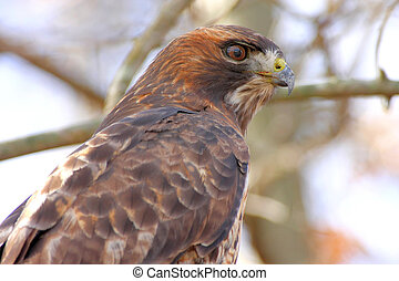 Red-tailed Hawk (buteo jamaicensis) hunting from a perch in...