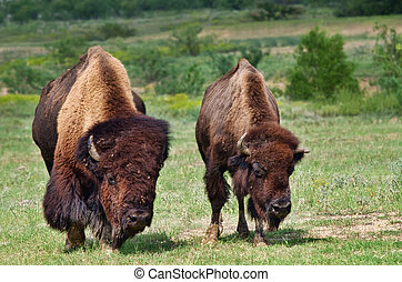 Bull and cow bison or buffalo - Bull and cow American bison...