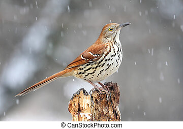 Thrasher In Snow Storm - Brown Thrasher (Toxostoma rufum) on...