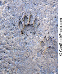 Raccoon Tracks - A pair of raccoon tracks made in mud.