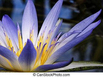 Amazon Waterlily - Beautiful purple and yellow Amazon...