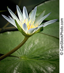 Amazon Waterlily - Amazon waterlily in beautiful lioght with...
