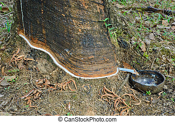 Tapping latex from older rubber tree