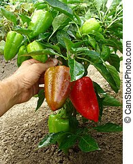 fruitful pepper plant with red and green fruits...