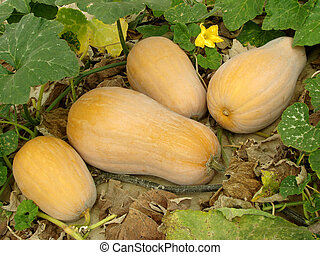 butternut squashes growing on vine...