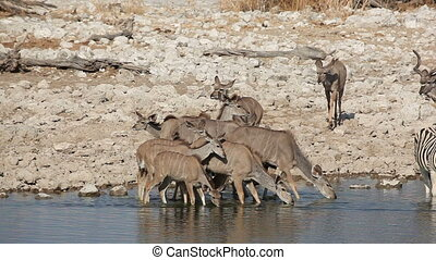 Kudu antelopes at waterhole - Kudu antelopes (Tragelaphus...
