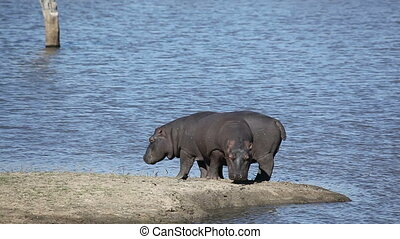 Hippopotamus - Two hippos Hippopotamus amphibius outside the...