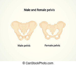 male and female pelvis - illustration of male and female...