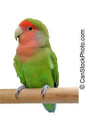 Parrot sitting on a stick - Peach-faced lovebird sitting on...